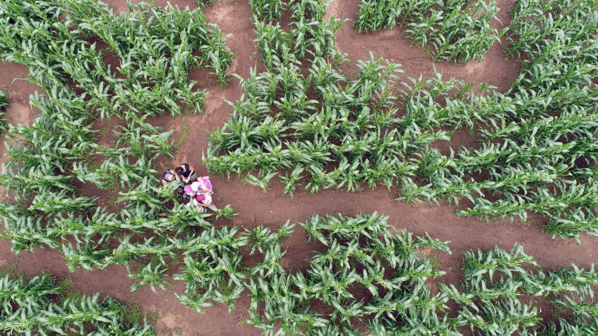 kukuricne-pole-kukuricaci-1-2048