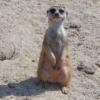 surikata-zoo-zologicka